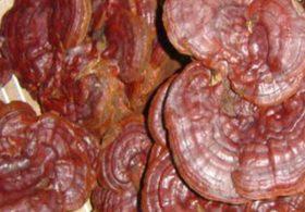 Chữa bệnh gan bằng nấm linh chi