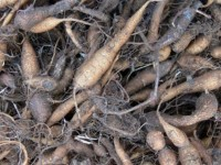Sâm đất khô