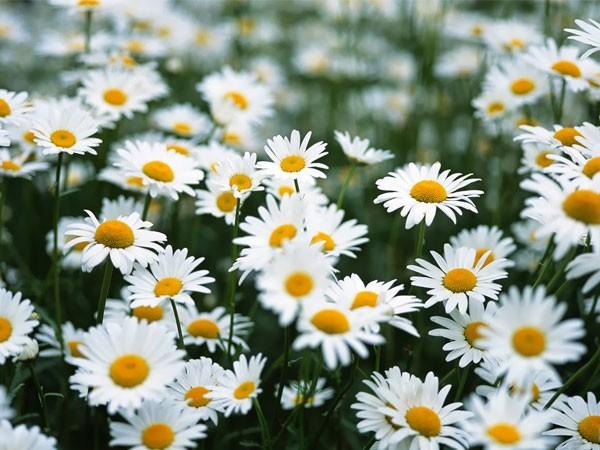 Hoa cúc trăng - thảo dược quý đối với sức khỏe con người