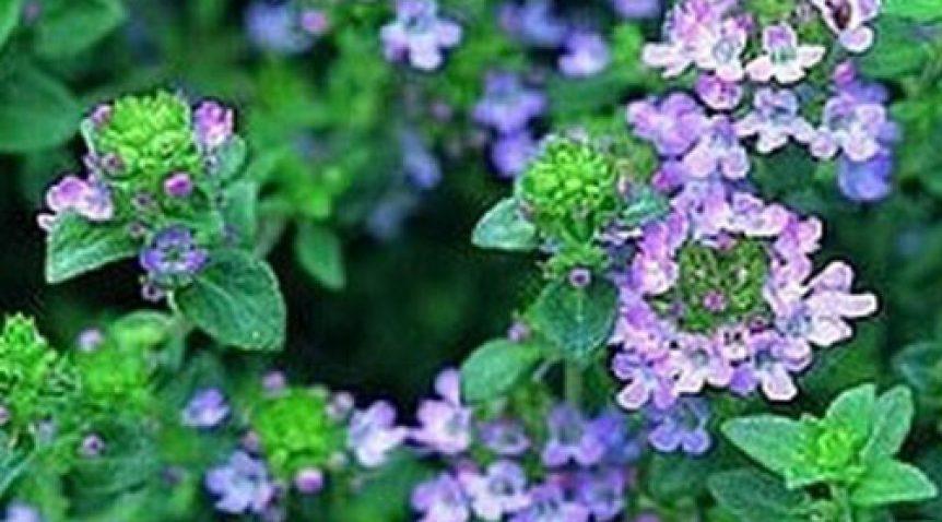 Tác dụng của cỏ xạ hương đối với sức khỏe