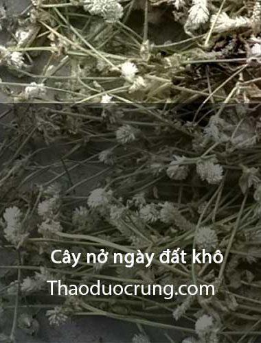 Cây nở ngày đất khô